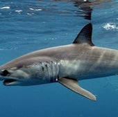 The Shortfin mako