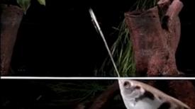 How Archer Fish Gun Down Prey from a Distance [Video]