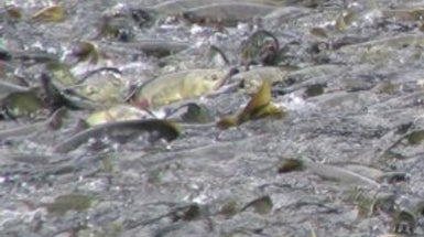 Salmon Evolve to Cope with Climate Change