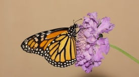 Monarch Butterflies under Threat from Rising Herbicide Use