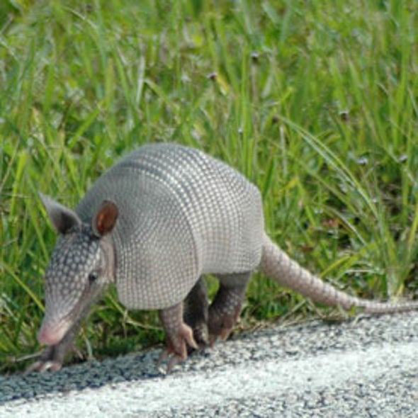 Armadillos Likely Transmitting Leprosy to Humans in Southern U.S.