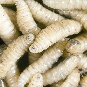 New Science Shows How Maggots Heal Wounds