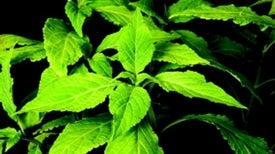 Salvia on Schedule: Law, Medicine and a Hallucinogen