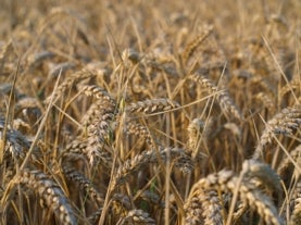 rice and wheat growers need more efficient plants