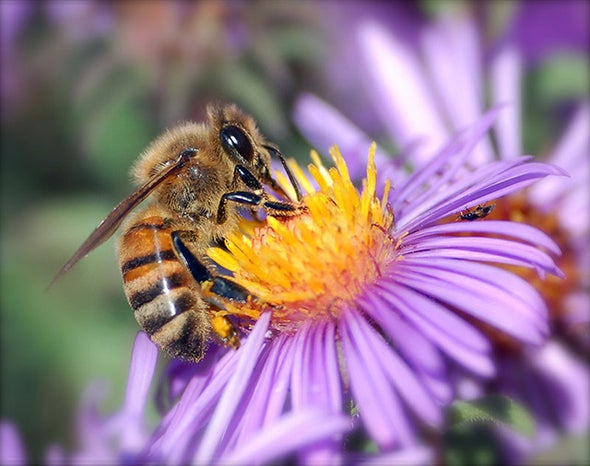 A Vaccine to Shield Threatened Honeybees from Disease