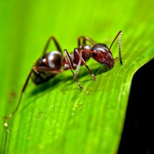 Infectious Selflessness: How an Ant Colony Becomes a Social Immune System
