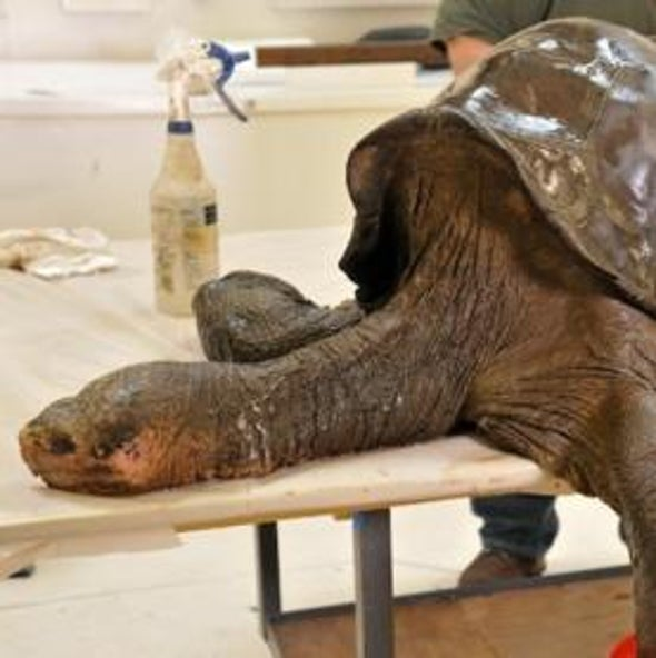 Last-of-Its-Kind Tortoise Gets Royal Treatment from Taxidermists [Slide Show]