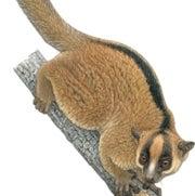 Eastern fork-marked lemur