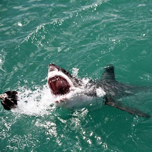 Shark Cull Plan Draws Ire