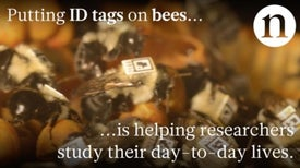 IDs for Bees: Tracking Bumble Bee Behavior