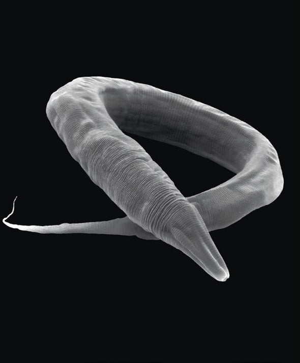 Tiny Worms Survive Forces 400,000 Times Stronger Than Gravity on Earth