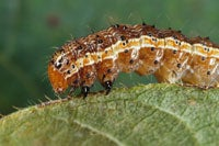 Corn Disrupts Caterpillars' Digestion to Protect Itself