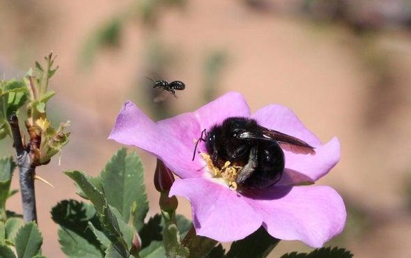 Utah's Deserts Are Bee Hotspots