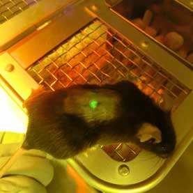 mouse with glowing green spot on back