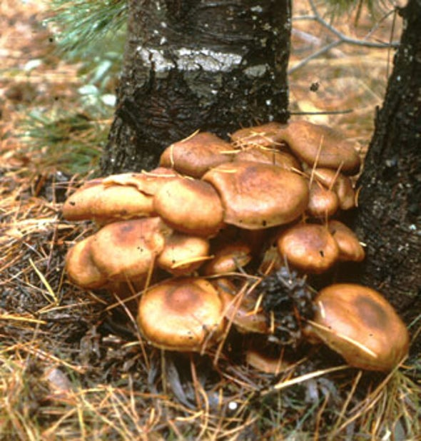 Strange but True: The Largest Organism on Earth Is a Fungus