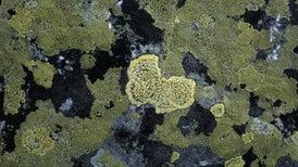 Some Lichen Fungi Let Genes Go Bye