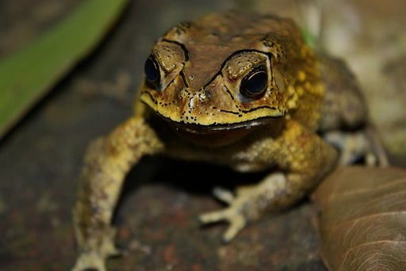 "Toxic Toads Threaten ""Ecological Disaster"""