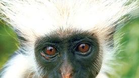 Self-Medicating Monkeys Gobble Painkilling Bark
