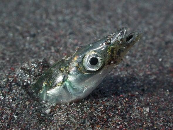 Regulators Put Limits on Fish No One Wants to Eat