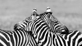 Zebra Coloration Messes With Fly Eyes
