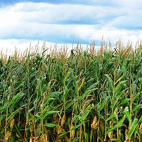 How Growing Corn Could Produce Less Pollution