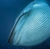 Bigger mouths allow blue whales to take in more food--like krill--per gulp of seawater. Efficient eating is part of the reason it became evolutionarily beneficial for baleen whales to grow so large.
