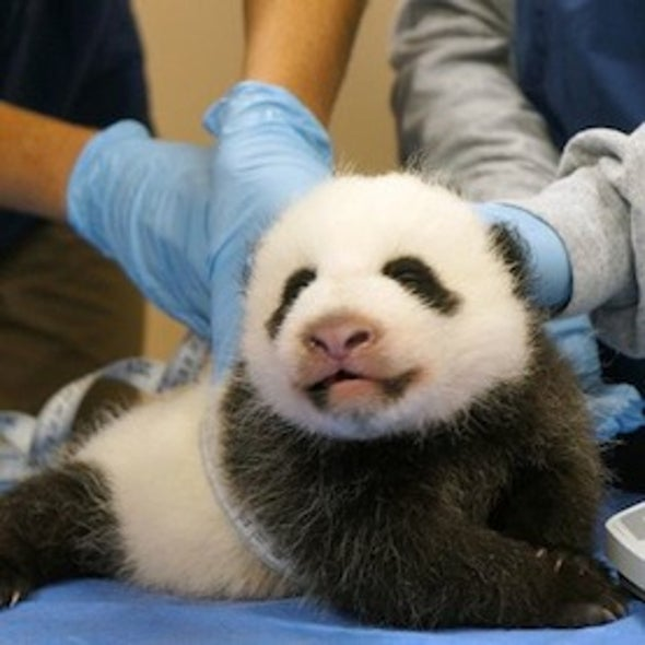 Panda Cam Is Back! 850 Visitors at a Time