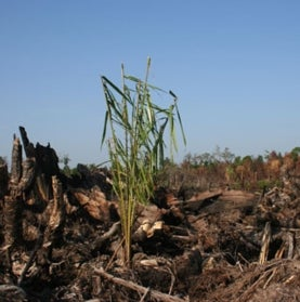 rainforest-burned-to-plant-palm