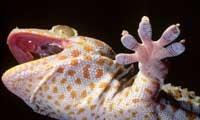 How Geckos Get a Grip