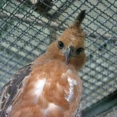 JAVAN HAWK EAGLE:
