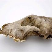 Goyet Dog