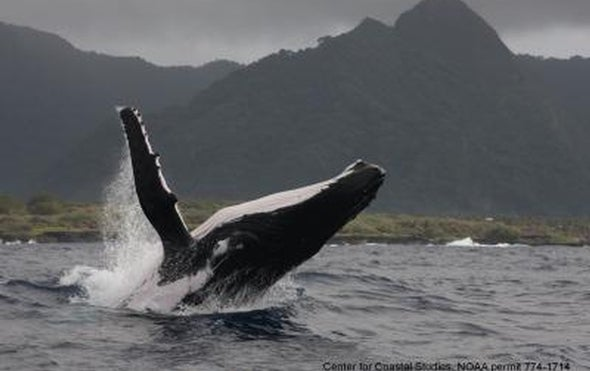 Humpback Whale Flippers Do More Than Maneuver