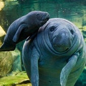 New mother Lolita--a West Indian manatee (Trichechus manatus)--with her two-day-old baby Kali'na at the Beauval Zoo in France.