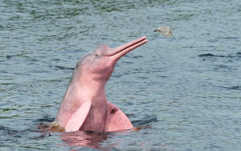 Science Sound(E)scapes: Amazon Pink River Dolphins - Scientific American