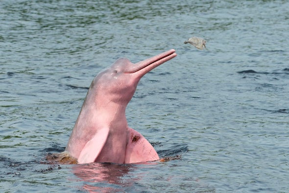 Science Sound(E)scapes: Amazon Pink River Dolphins