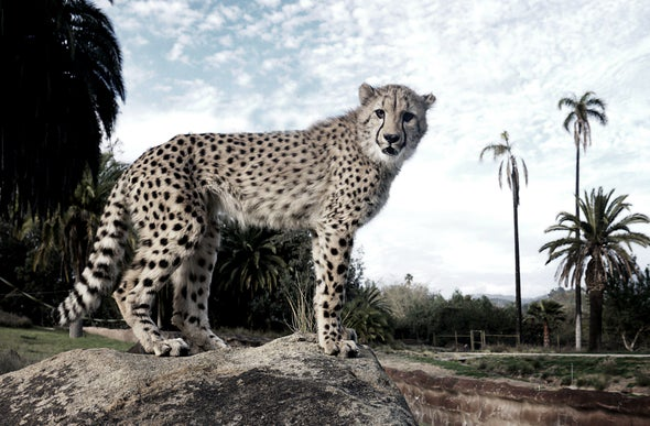 Tinder for Cheetahs? Big Cats Are Attracted by Urine Smell