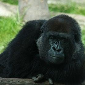 African Great Ape Habitat Underwent Massive Shrinkage Since 1990s
