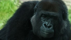 African Great Ape Habitat Underwent Massive Shrinkage Since 1990s