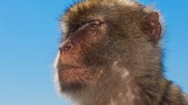 Monkeys Turn into Grumpy Old Men, Too