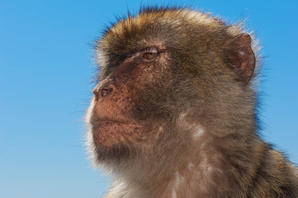 Monkeys Turn into Grumpy Old Men, Too