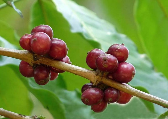 Coffee Crisis Spurs Hunt for Helpful Genes [Slide Show]
