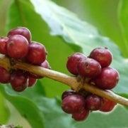 Coffee Crisis Spurs Hunt for Helpful Genes [Slide Show]