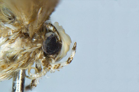 Scaly-Headed Moth Named after Trump
