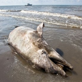 Triple Whammy Led to High Rate of Bottlenose Dolphin Deaths in Gulf of Mexico
