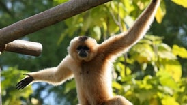 How Gibbons Got Their Swing