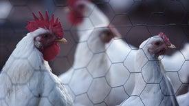 Maryn McKenna's <i>Big Chicken,</i> Part 2