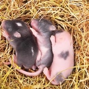 Healthy Baby Mice Produced from Mouse Mom's Skin Cells