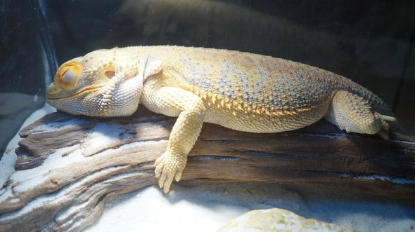 Slumber Party: Reptiles, like Us, Have REM Sleep and May Dream