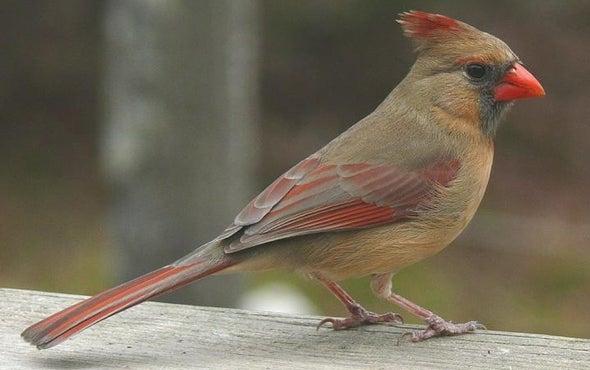 Cardinal Rule: Female Birds Sing, Too