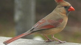 Cardinal Rule: Female Birds Sing, Too